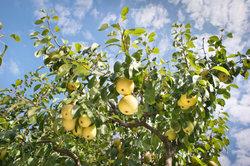 Ein gesunder Birnbaum trägt gesunde Früchte.