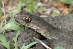 Einheimische Reptilien stehen in Deutschland unter dem Artenschutz.