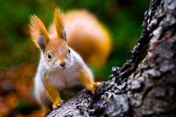 Eichhörnchen sind hervorragende Kletterer und Springer.