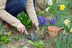 Hyazinthen-Zwiebeln können Sie mitunter im Garten ansiedeln.