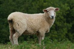 Bei der Schafhaltung rechtliche Bestimmungen beachten