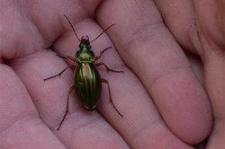 Laufkäfer - deutlich gegliederte Insektenbeine