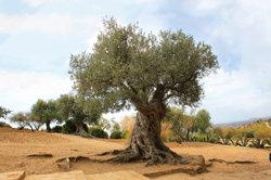 Olivenbäume werden alt.