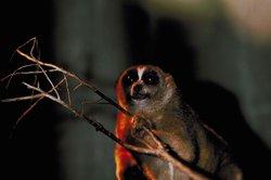 Die zu den Primaten gehörenden Loris sind artengeschützte Tiere.