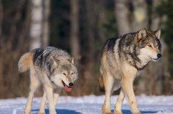 Der Winter ist für Wölfe oft eine Hungerzeit.
