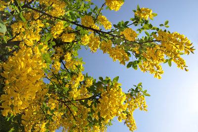 Mit seinen prächtigen Blüten ist der Goldregen eine Augenweide.