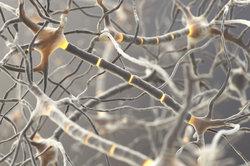 Das Nervensystem kann in sensorische und motorische Neurone unterteilt werden.