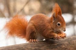 Eichhörnchen haben einen schlanken Körper.