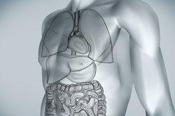 Die Leber liegt beim Menschen im rechten Oberbauch.