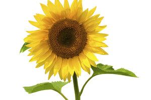 Eine Sonnenblume ist leicht zu erkennen.