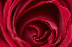 Die Rose Duftfestival verzaubert durch stark duftende Blüten.