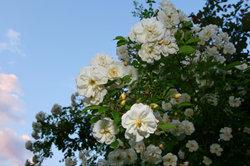 Die Lykkefund-Rose kann über acht Meter hoch wachsen.
