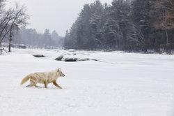Polarwolf - Canis lupus arctos