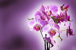 Phalaenopsis Liodoro bildet stattliche Blütenstände aus.