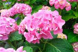 Hortensien verschönern viele Grünflächen und Gartenbereiche.