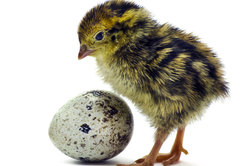 Wachteln bauen sich ein Nest am Boden.
