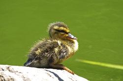 Entenbabys brauchen ein warmes Nest zum Aufwachsen.