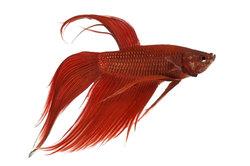 Kampffisch in voller Pracht