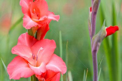Die wunderschönen Gladiolen lassen sich leicht vermehren.