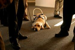 Blindenhunde werden im Welpenalter ausgebildet.