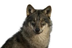 Amerikanische Wolfshunde als Hunderasse halten
