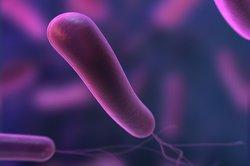 Helicobacter heilmannii ist mit Helicobacter pylori verwandt.