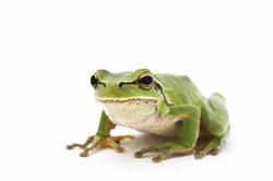 Froschlurche in der freien Natur beobachten