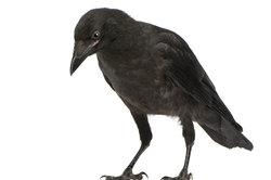 Rabenvögel sind sehr intelligent.