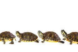 Wasserschildkröten gehören zu den Reptilien.