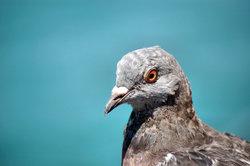 Junge Tauben werden leider schnell zahm.