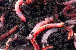 Eine zu große Anzahl Regenwürmer kann den Rasen schädigen.