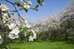 Der Apfelbaum gehört zu den einhäusig nichtgetrenntgeschlechtlichen Pflanzen.