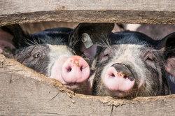 Hausschweine sind Rudeltiere, die viel Freigelände brauchen.