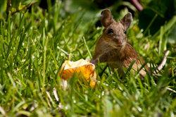 Ein Apfel ist kein Problem - aber kann die Feldmaus Nüsse knacken?