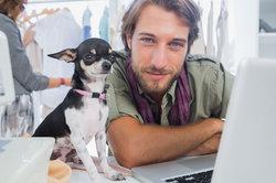 """Ein """"großer"""" offensichtlich gesunder und selbstbewusster Chihuahua"""