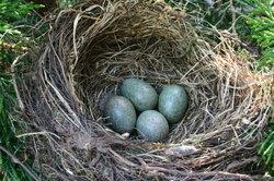 Amseleier in einem schützenden Nest