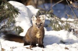 Marder sind auch im Winter aktiv.