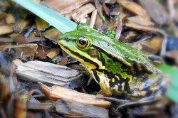 Der Frosch - ein vielseitiges Wesen.