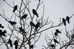 Krähen können eine hohe Lebenserwartung haben.