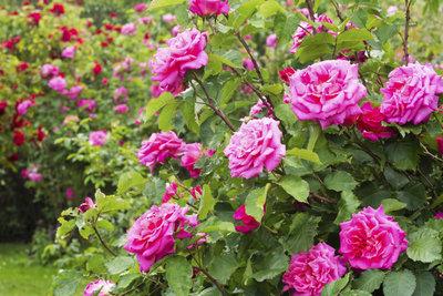 Gesunde und kräftige Rosen sind der Stolz eines jeden Gartenbesitzers.