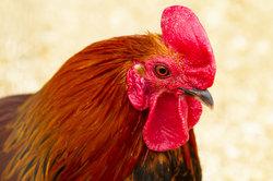 Zwerg-Welsumer sind zutrauliche Hühner.