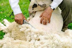 Hier erfolgt die Schafschur mit traditioneller Spezialschere.