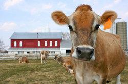 Jersey-Rinder sind braun und haben immer ein helles Maul.