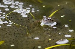 Hunderte von Eiern legt ein einziges Froschweibchen ab.