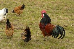 Hühner benötigen viel Auslauf.
