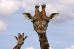 Weiblichen Giraffen tragen Fellbüschel an den Hörnern.