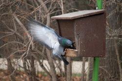 Im Winter kann das Futter für Tauben knapp werden.