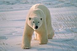 Eisbären sind Einzelgänger.