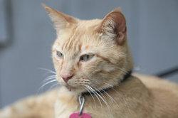 Bei Fieber sind die Ohren einer Katze oft gerötet und fühlen sich heiß an.