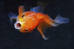 Fische nutzen zum Atmen die Kiemen.